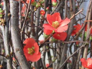 ボケの花_1637