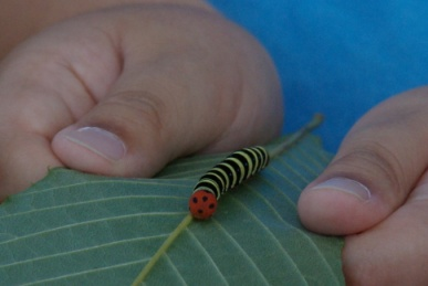 アオバセセリ幼虫1