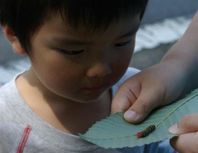 アオバセセリ幼虫2