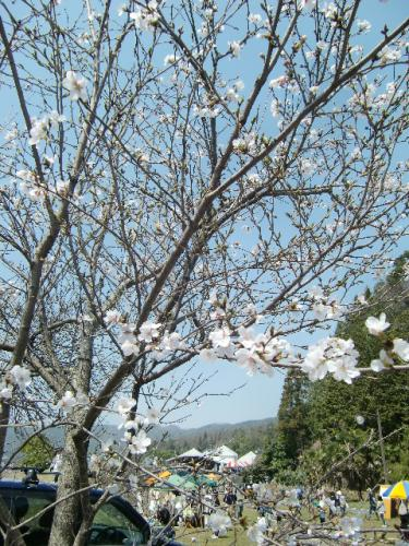 4月11日桜の下で