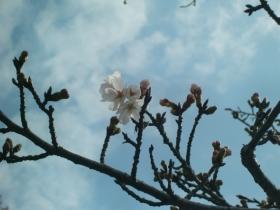 3月23日咲きはじめた