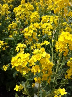 __菜の花