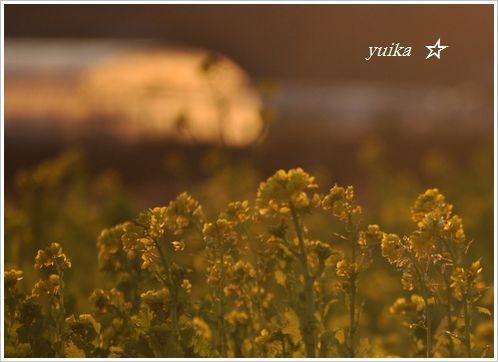 菜の花畑125 (2)