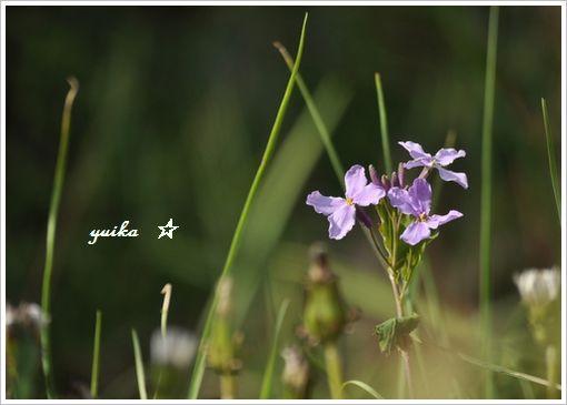 紫ハナナ320
