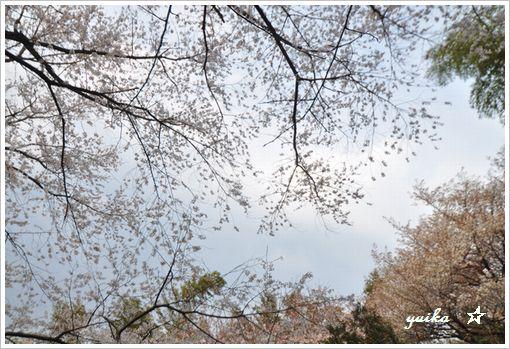 薄墨桜405-3
