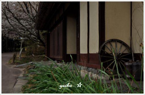 薄墨桜405-2