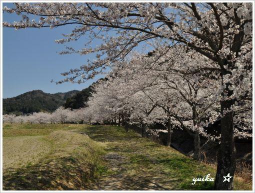 桜408-1