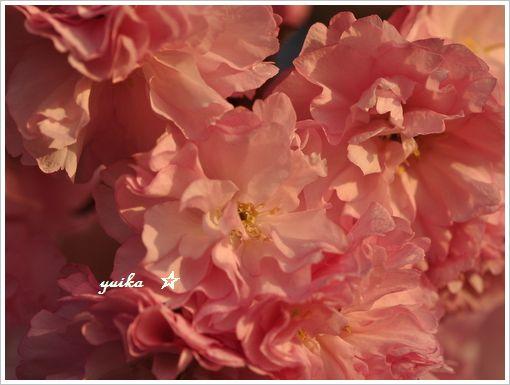 八重桜423-2 (1)