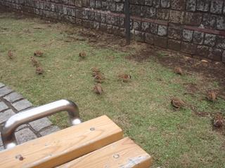 20111118 上野公園のすずめ1_R