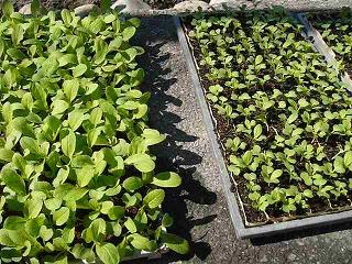 広島菜の苗床