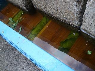 水に漬かった広島菜