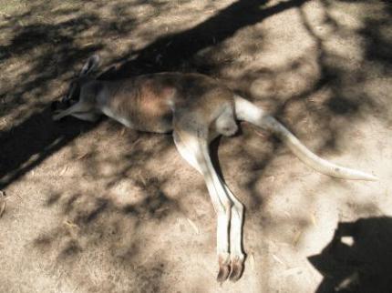 寝ているカンガルー