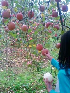 リンゴもぎ採り