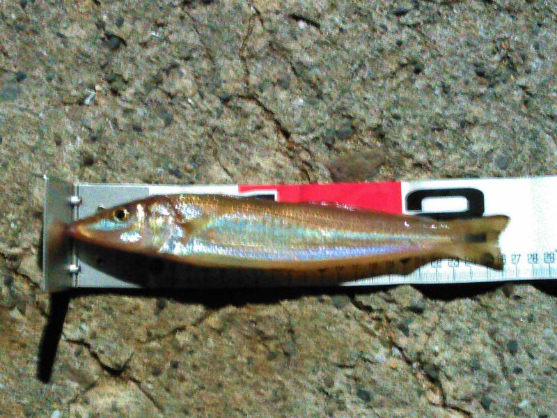 m-カゴ釣りで釣れた27センチのキス