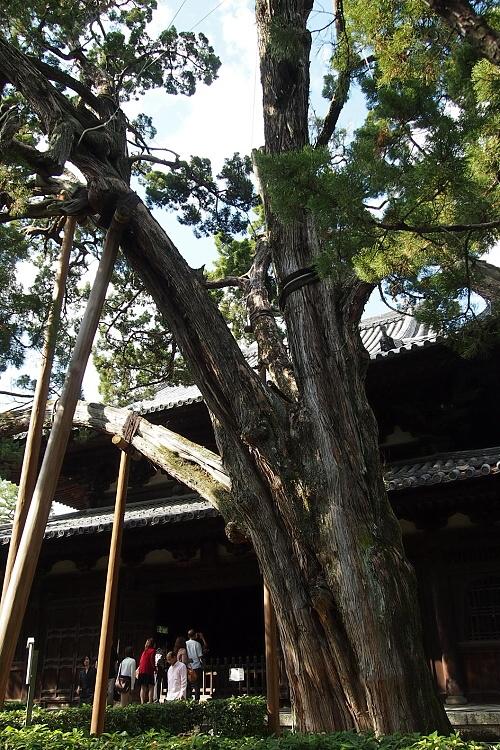 大徳寺のイブキ2