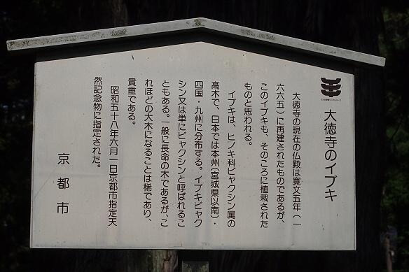 大徳寺のイブキ1