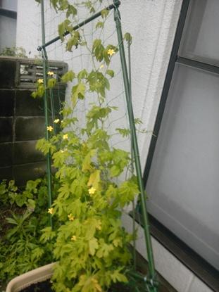 家庭菜園2011夏 (3)