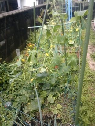 家庭菜園2011夏