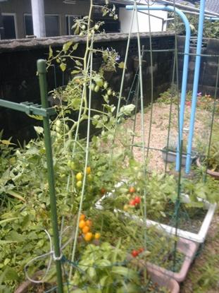 家庭菜園2011夏 (2)