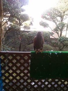 杏ちゃん宅の鷹