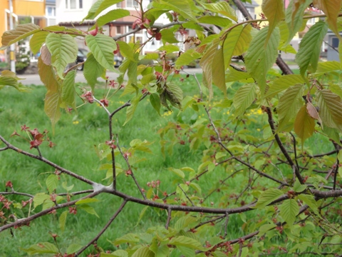桜は終わり(2011.05.22)
