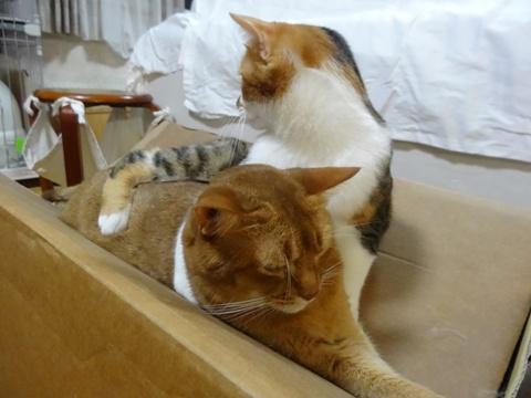 おねーにゃんの取り合い02(2013.09.09)