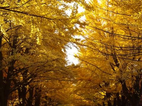 金色のトンネル05(2013.11.05)