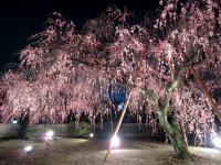 2404枝垂れ桜