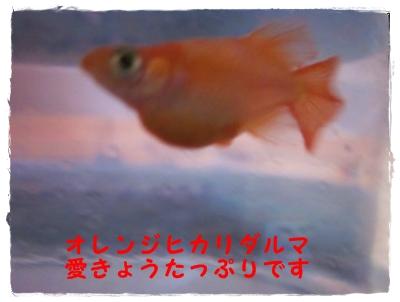 オレンジヒカリダルマ 愛嬌たっぷり