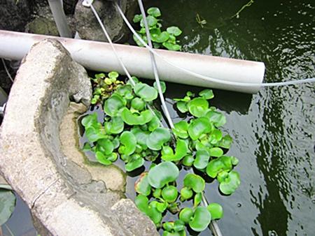 池のホテイ草達 五二五