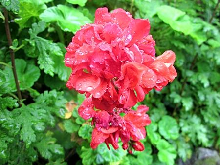葵の花 一輪 五二三