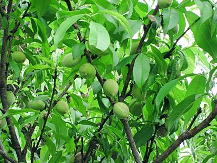 桃の実 五三一