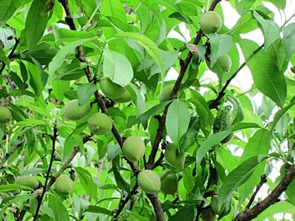 桃の実 二 五三一