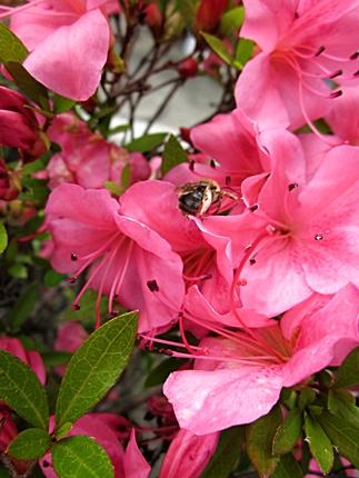 花とミツバチ 五三十一