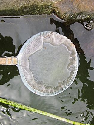 稚魚池に 六三