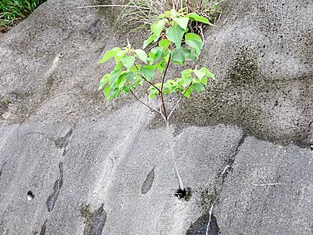 六七 ど根性木