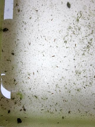 六十二 水替え後の稚魚容器