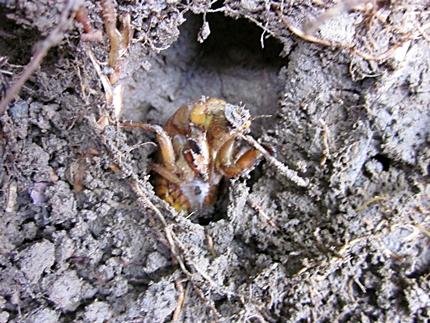 六一五 土 セミ幼虫がでててきた 二