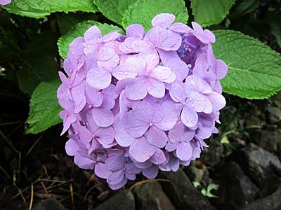 六一九 紫のアジサイ 一輪