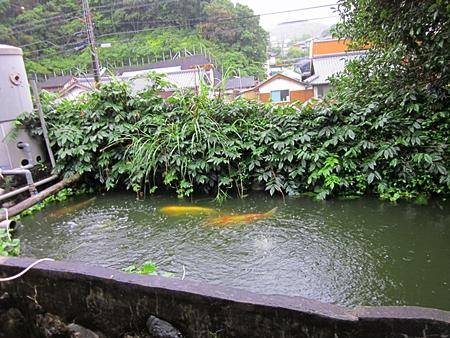 六二十 池の 鯉 二