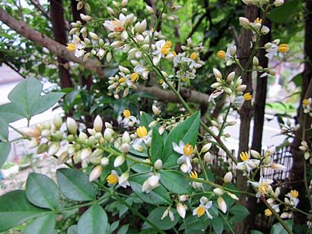 六二二 南天の花