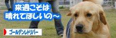 日本ブログ村 ゴールデンのページへGO!