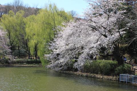 池と、柳と桜