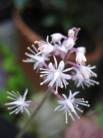 ヒューケラ花