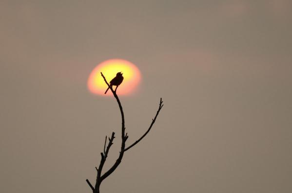 夕日とホオジロ