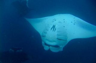 モルディブ バア環礁「ハニファルベイ」のぐるぐるマンタ Photo by Y.Goto