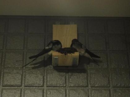 2羽のツバメ(2)
