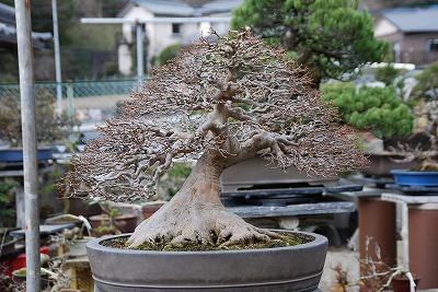 カエデ盆栽