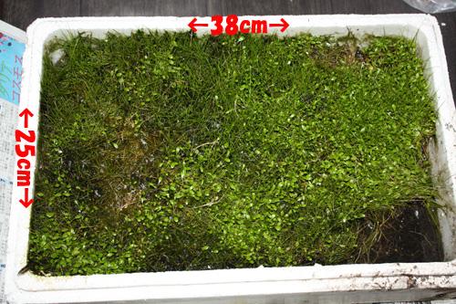 グロッソスティグマ、ヘアーグラス 東海 岐阜 熱帯魚 水草 観葉植物販売 Grow aquarium