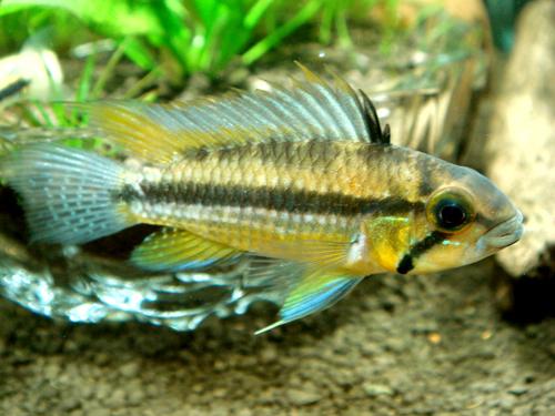 アピストグラマ ユルエンシスイエロー産卵 東海 岐阜 熱帯魚 水草 観葉植物販売 Grow aquarium